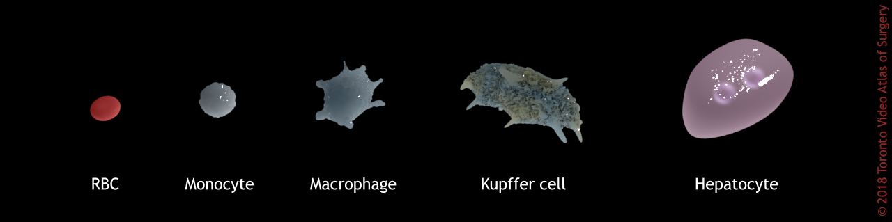 Cell size comparisons