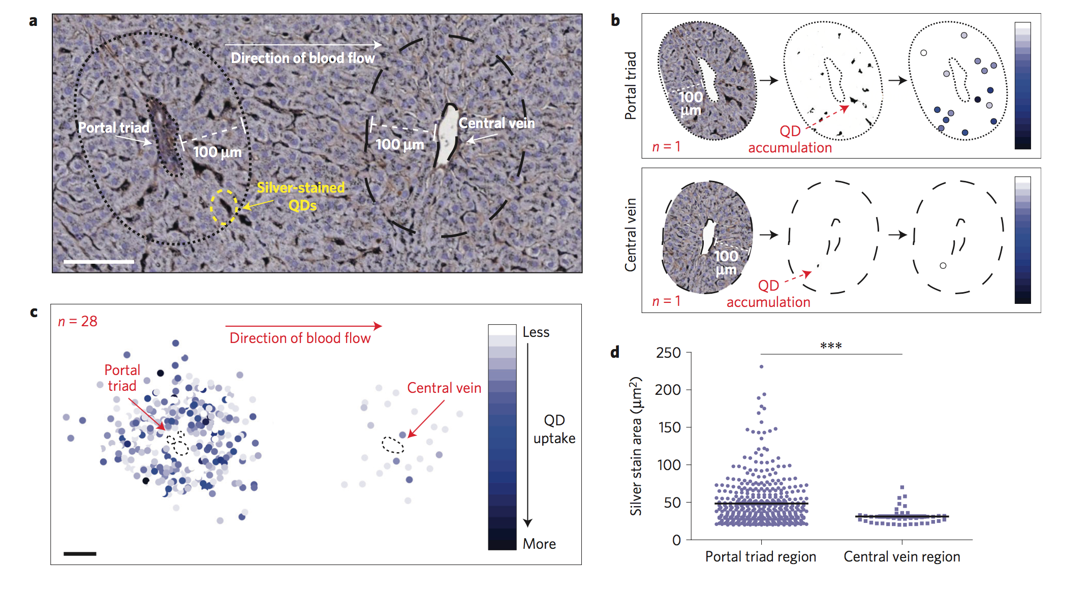 Nanoparticle sequestration in liver tissue