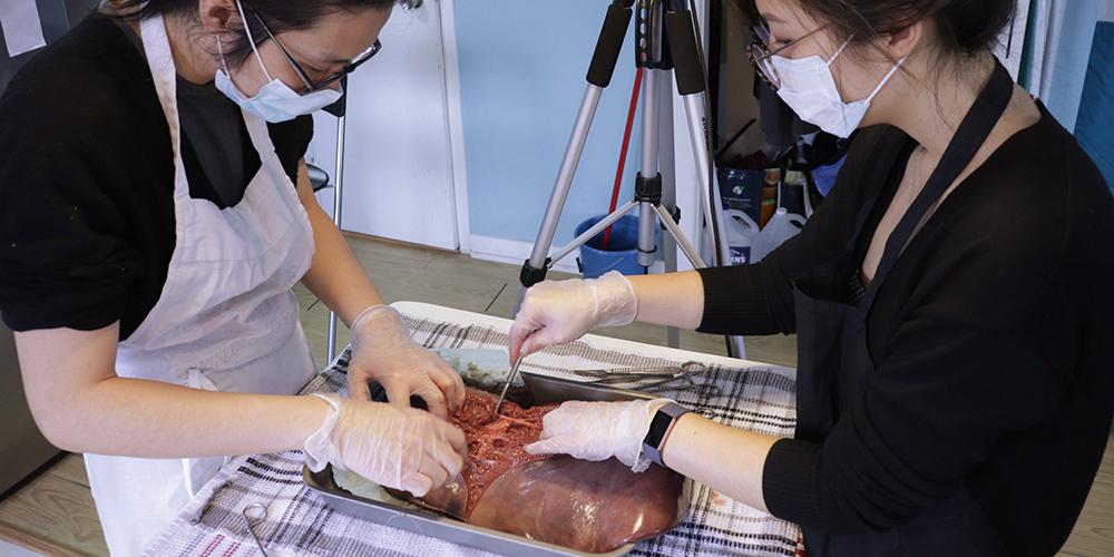 Bovine hepatectomy